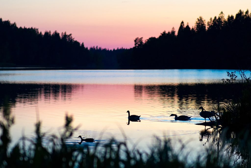 Ducks swimming on a lake at sunset